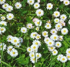 GÄNSEBLÜMCHEN 2.500 Samen BELLIS PERENNIS winterhart ESSBARE BLÜTEN seeds WIESE