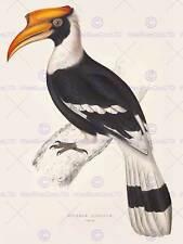 La PITTURA Birds Himalaya Gould GRANDE Bucero 12x16'' art print poster lah570b