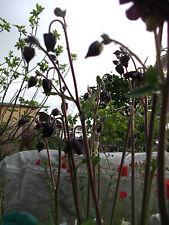 AQUILEGIA BLACK BARLOW 100 SEEDS