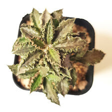 "EUPHORBIA TULEARENSIS ""size M""FOR SALE CAUDEX PLANT EXOTIC SUCCULENT COLLECTIBLE"