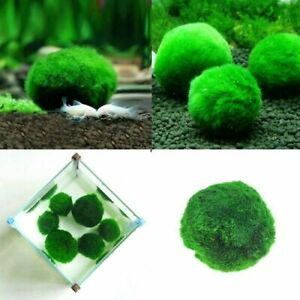2pcs Green Giant Marimo Ball Cladophora Live Aquarium Plant Fish Aquarium Decor