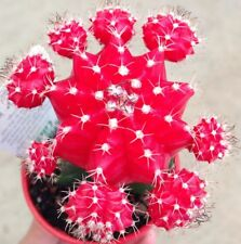 Red DESERT LIGHT Grafted Cacti plant in 70mm pot