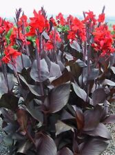 3 x Canna Lily Dwarf Brown Leaves 'Corail' (Tubers) Free UK Postage