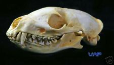 Jacksons Dog Mongoose Skull Replica