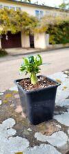 Adenium obesum , Caudex, Cactus, Succulentes