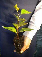 BRACHYCHITON POPULNEUS alveolo Kurrajong tree pianta plant