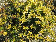 Abelia Francis Mason - 20 Live Plants - Blooming Butterfly Attracting Shrub
