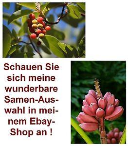 Erdbeerbaum und essbare Rosa-Bananen-Palme - zweimal Obst, das drinnen wächst !