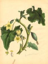 PLANTAE UTILIORES. Wild or Squirting Cucumber (Momordica Elaterium) BURNETT 1842