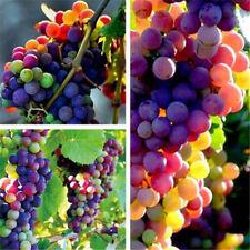 Organic Rainbow Grape Seeds Sweet Grapevine Vine Home Garden Plant 10PCS