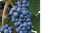 Grow Your Own Concord Grapes! 10 Fresh Cuttings Free Shipping