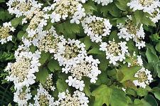 Viburnum opulus 9cm Pot x 1 | Guelder Rose | Snowball Tree | Hedging Plant