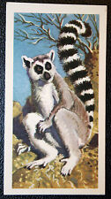 Madagascan Ring-tailed Lemur   Superb Vintage Colour Card ## VGC
