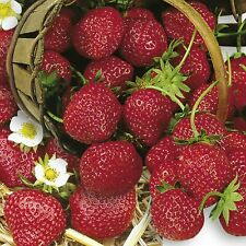 Erdbeerpflanzen 'Mara de Bois'  50 Frigo Pflanzen
