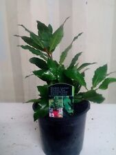 1 x  Bay Laurel Laurus Nobilis Aromatic Leaves Evergreen Tree/Kitchen Bay