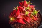 Crassula corymbulosa 'Red Pagoda' Succulent RARE plant (root cutting)(XS)