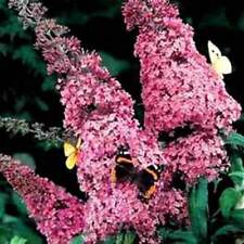 Pink Delight Butterfly Bush! 50 Seeds! Fast & Easy to grow! comb. S/H See store!