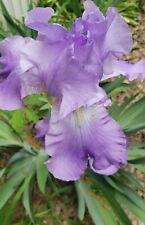 7 Light Purple Tall Bearded Iris Bulbs Bare Root