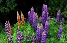 Russell Lupins mixed colours - 20 seeds