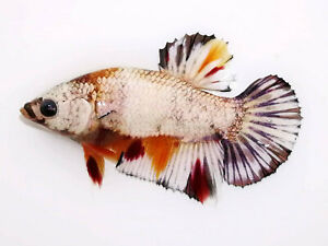 (LimitedOffer!) Premium Live Betta Fish l Male Nemo Copper Plakat 1262