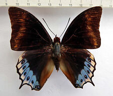 Charaxes eurialus ssp.eurialus male ex Ambon,Moluccas, Indonesien    n7