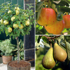 Fruit Tree Apple & Pear Hardy Garden Plants Set of 3 x 9cm Pots T&M