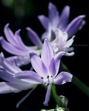 Griffinia espiritensis RARE amaryllis rare subtropical bulb houseplant *easy*
