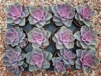 Echeveria 'Perle Von Nurnberg' Succulent plant - (S) (C1)