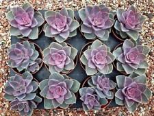 Echeveria 'Perle Von Nurnberg' Succulent plant - (S)