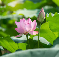 Garten Balkon Samen exotische Pflanze Kübelpflanze Wasserpflanze LOTUSBLUME