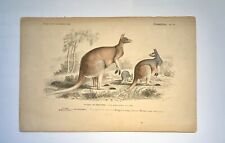 RARE Red Kangaroo Lithograph Australia 1839 Travies Fournier AUTHENTIC