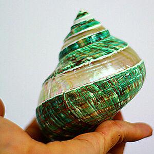 Natural Green Turban Shell Conch Coral Sea Snail Home Fish Tank Decor Ornament