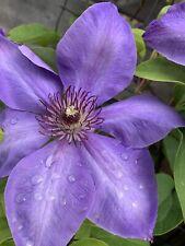Clematis seeds from Montana garden 50 purple climbing vine ornamental perennial