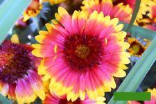 Kokardenblume Gaillardia 100 Samen Malerblume Bauerngarten Staude winterhart