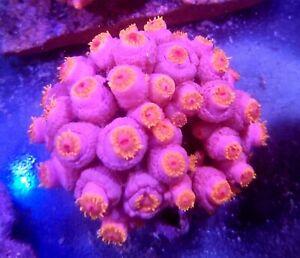 Sun Coral Frag (4 heads )