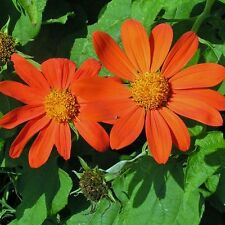 TITHONIA Goldfinger Mexican Sunflower Seeds (F 188)