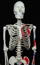 Anatomical Human Muscular Skeleton Model 170cm 66 Inch High Quality Free Poster