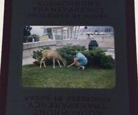 Vintage 1960's Photo Slide Woman Feeding Deer