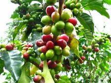 House Plant Coffea arabica nana Coffee Plant Grow your own Coffee!! fresh seeds
