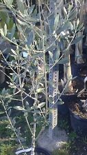 Frantoio Olive Tree - 3 to 4 Feet Tall
