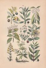 Zimtbaum Kaffeebaum  Baldrian Muskatnuß Krapp LITHOGRAPHIE von 1880