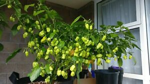 20 Genuine Red Scotch Bonnet Seeds - High Yield Variety - FREE SHIPPING