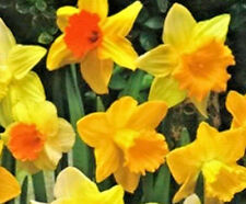 Daffodil Mixed Bulbs Narcissus x 100 Yellow & Orange Early Spring Flowering