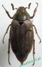 Melolontha melolontha Linnaeus, 1758 male Poland