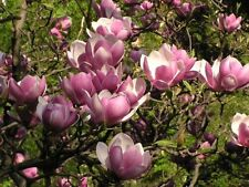 Saucer Magnolia - 1 Plant - 1 Feet Tall - Ship in 1 Gal Pot