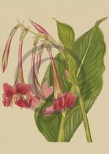Species Canna Iridiflora Photo Heirloom Garden Old Flowers Lily Bulb Print WB#48