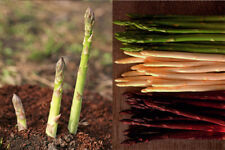 100PCs Asparagus Officinalis Vegetable Seeds 3 Kinds Vegetables In Your Garden