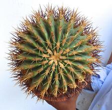 Oldddd Ferocactus Glaucescens 7 7/8X7 1/2in Aa3 No Crested Aztekium Valdezii
