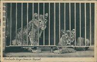 Ansichtskarte Karlsruhe Junge Löwen im Tierpark  (Nr.9638) Zoo