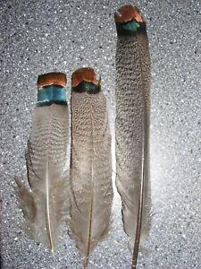 Oscillated Turkey -Tail Feathers